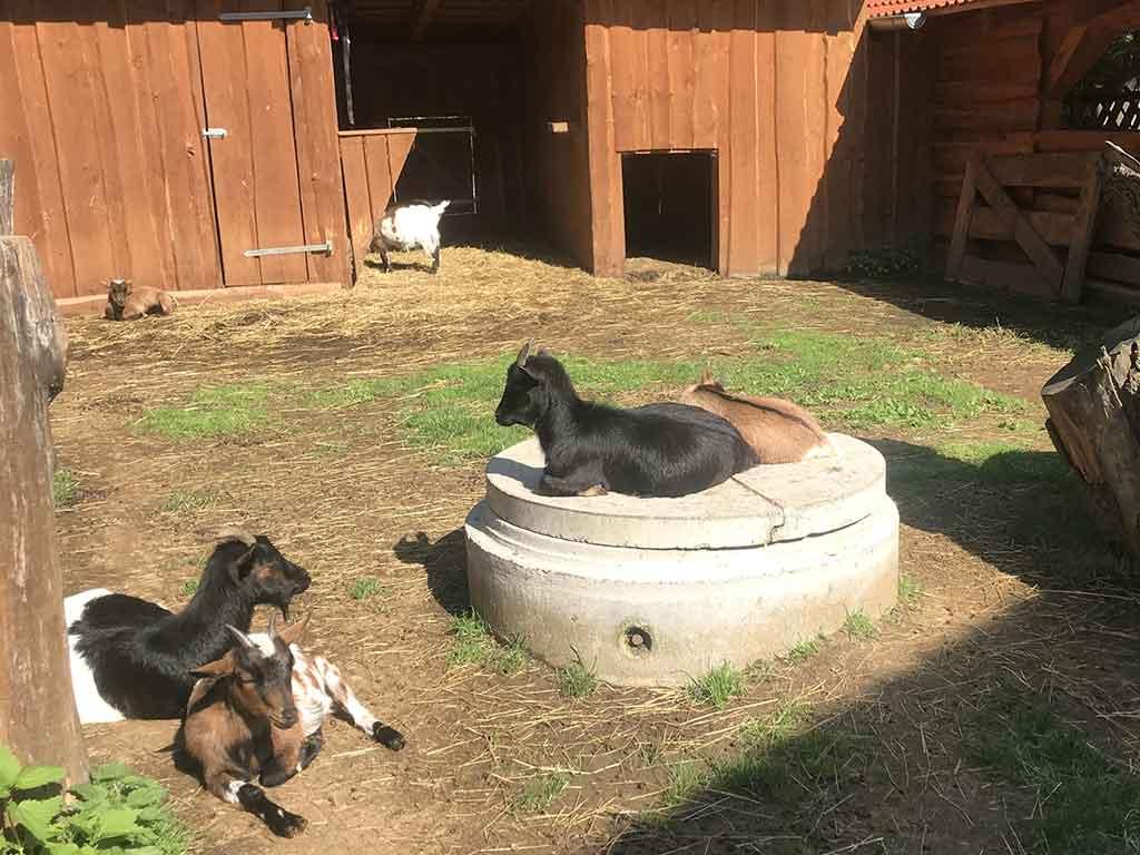 Zevlův mlýn - kozy